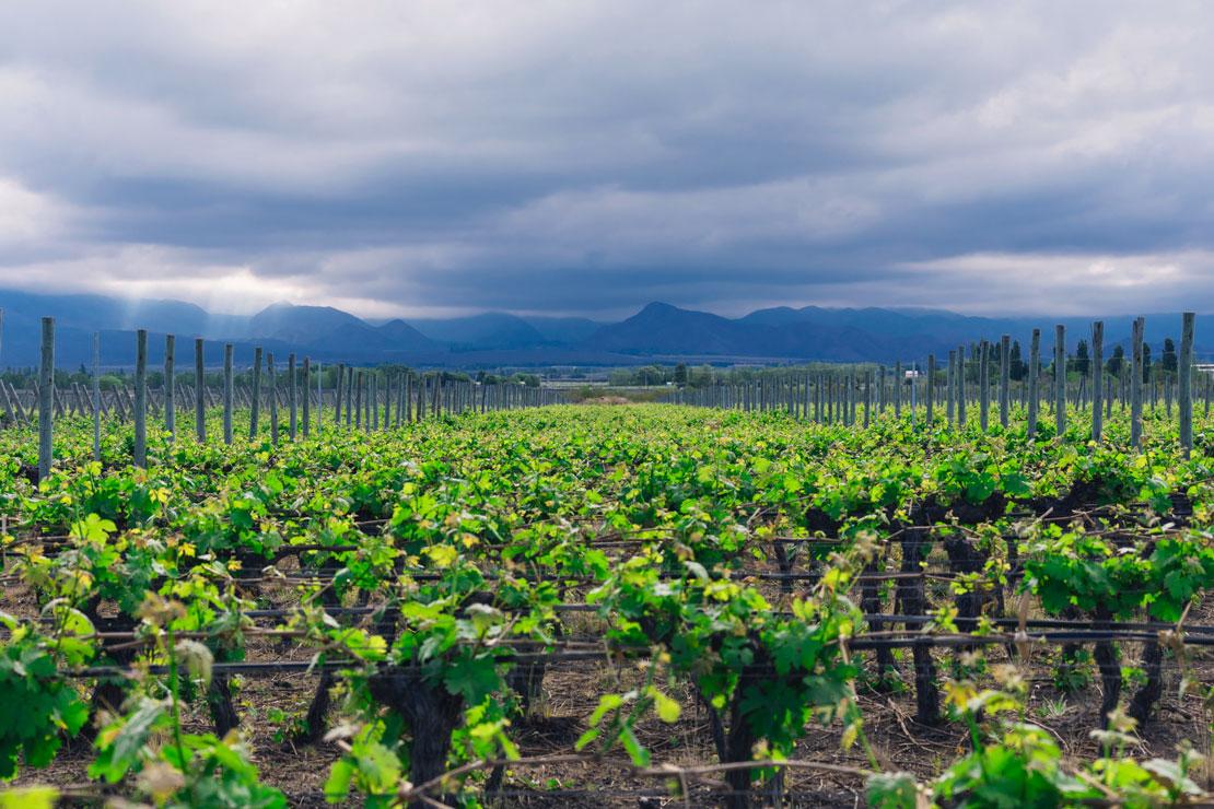 海を渡り山脈を越え マルベック葡萄畑の新天地